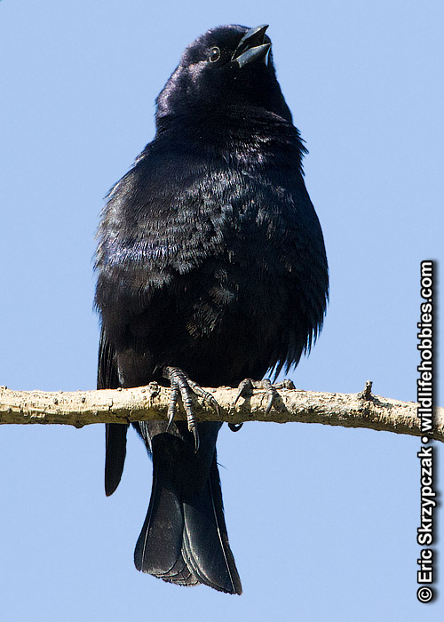 This is a photo of a Cowbird - Screaming, Molothrus rufoaxillaris