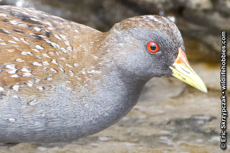 This is a photo of a Spotted Crake