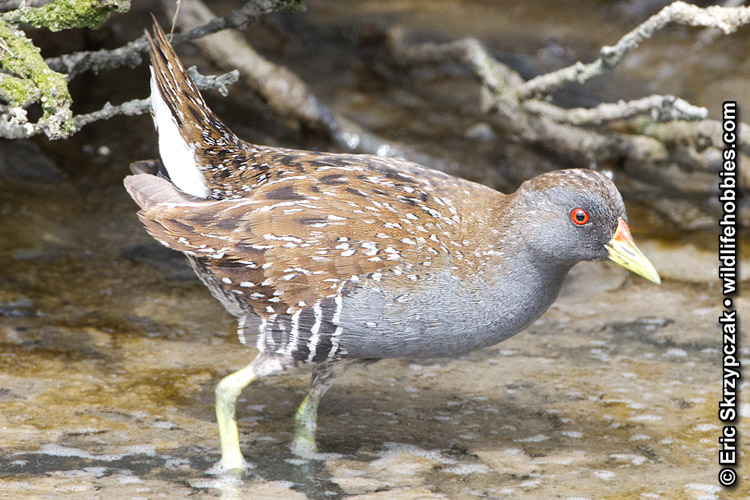 Crake - Spotted']; ?>