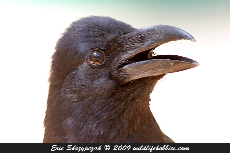This is a photo of a Crow - Large-billed