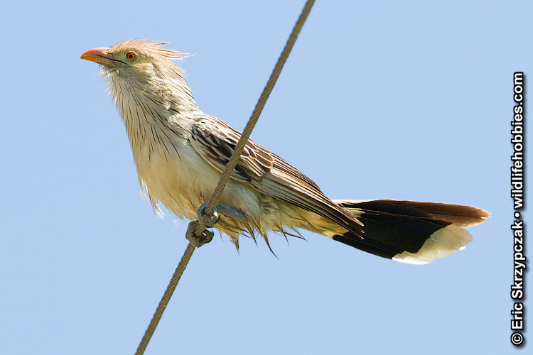 Photograph of the Bird Species: Guira guira <em>