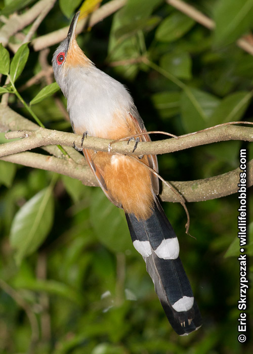 Photograph of the Bird Species: Coccyzus longirostris <em>
