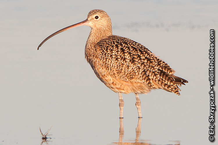 Curlew - Long-billed']; ?>