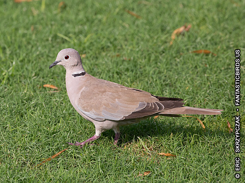 This is a photo of a Dove - Eurasian Collared