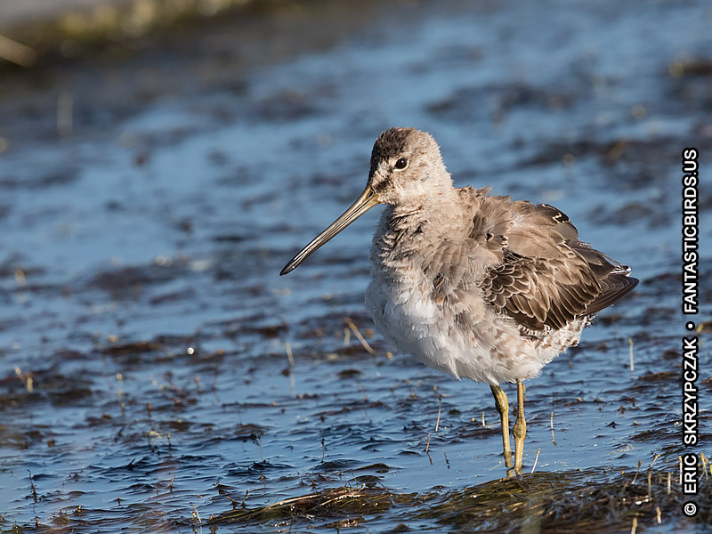 Dowitcher - Long-billed']; ?>