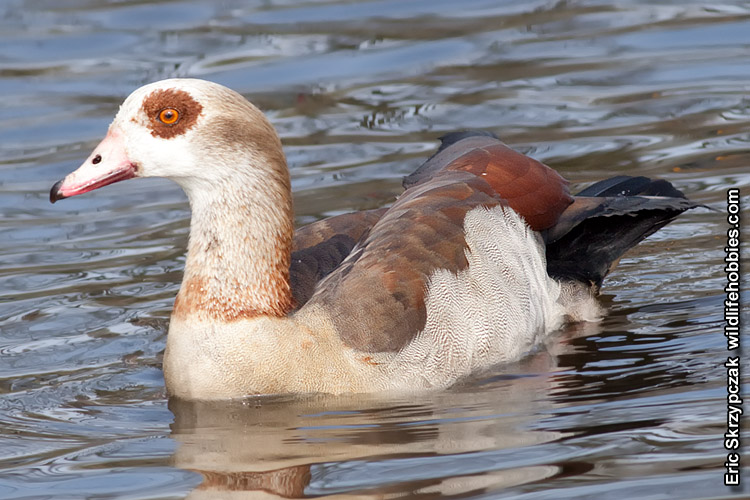 This is a photo of a Geese - Egyptian