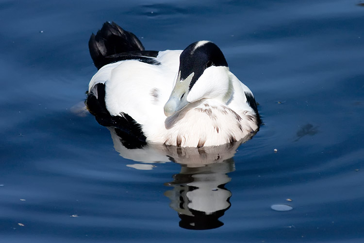 This is a photo of a Duck - Eider