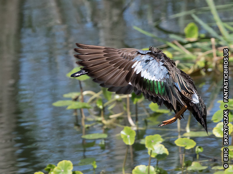 This is a photo of a Duck - Teal - Blue-winged