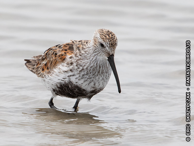Photograph of the Bird Species: Calidris alpina <em>