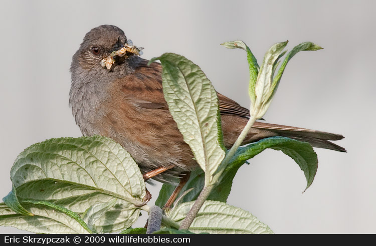 This is a photo of a Dunnock