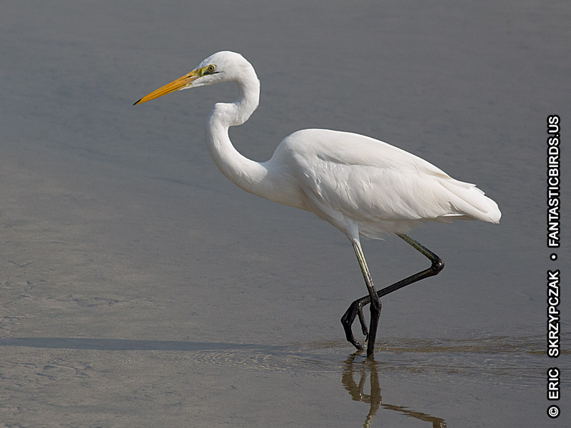 This is a photo of a Egret - Great