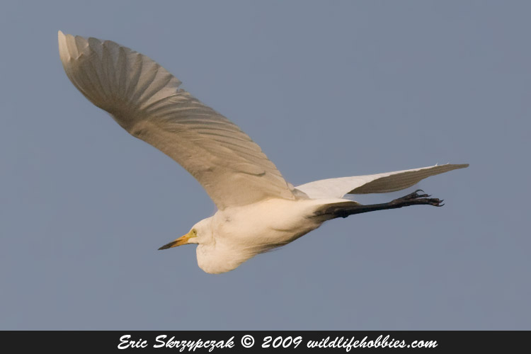 This is a photo of a Egret - Intermediate
