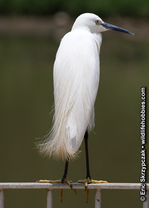 This is a photo of a Egret - Little