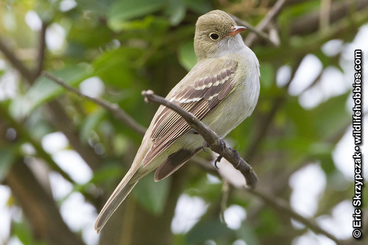 This is a photo of a Elaenia - Small-billed