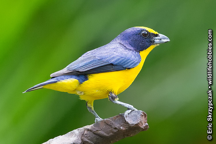 This is a photo of a Euphonia - Thick-Billed