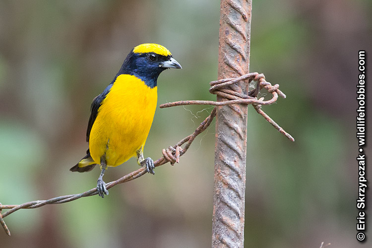 This is a photo of a Euphonia - Yellow-crowned