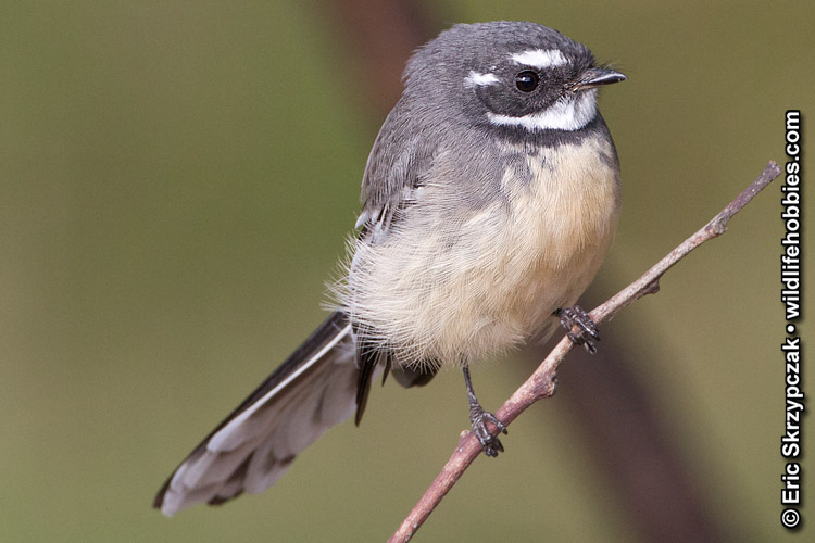 This is a photo of a Fantail - Grey (Australian), Rhipidura albiscapa