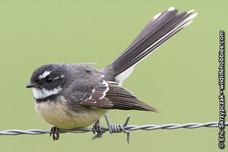 This is a photo of a Grey Fantail