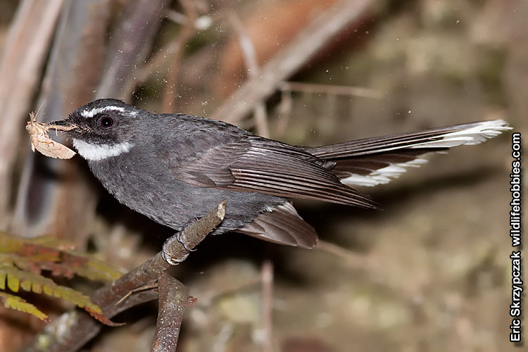 This is a photo of a Fantail - White-throated