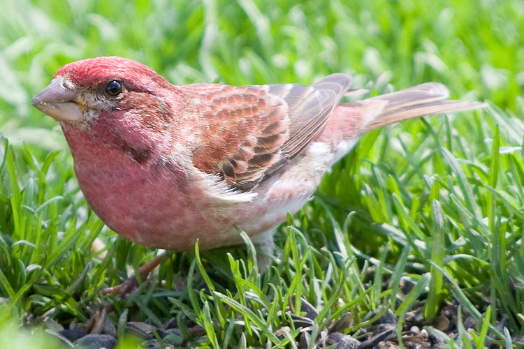 Photograph of the Bird Species: Carpodacus purpureus  <em>