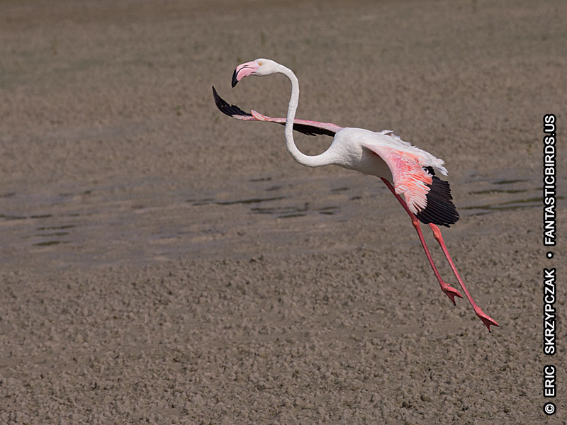 This is a photo of a Flamingo - Greater