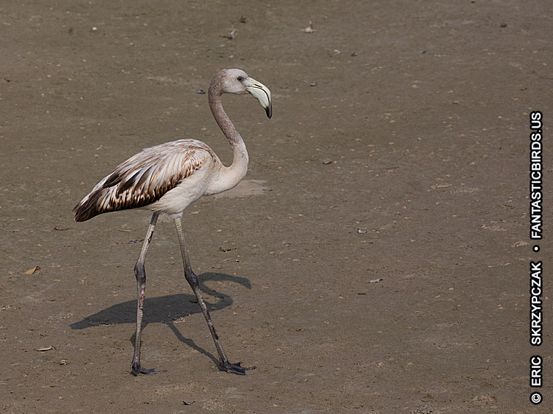 Photograph of the Bird Species: Phoenicopterus roseus <em>