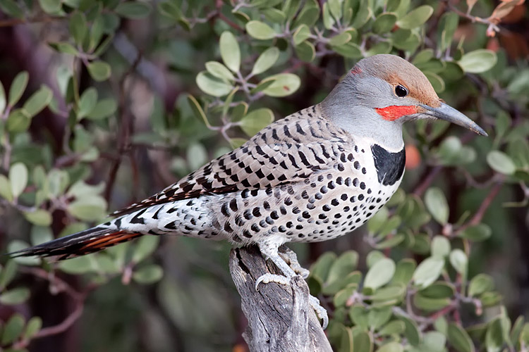 This is a photo of a , Woodpecker - Northern Flicker - (Red Shafted)