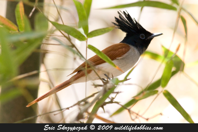 This is a photo of a Flycatcher - Asian-Paradise