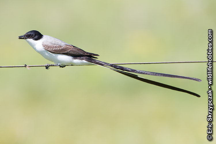 This is a photo of a Flycatcher - Fork-tailed
