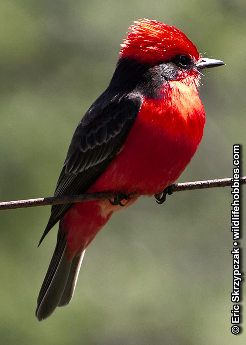 This is a photo of a Flycatcher - Vermillion