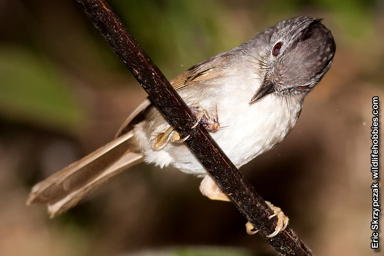 This is a photo of a Fulvetta - Mountain