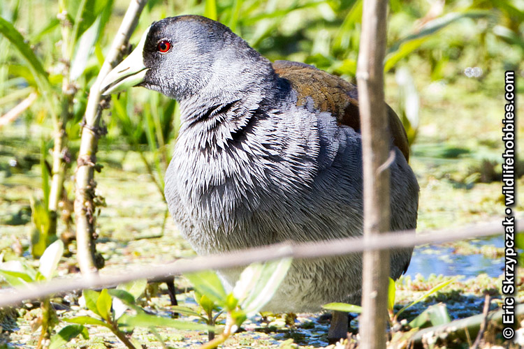 Gallinule - Spot-flanked']; ?>