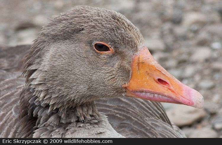 This is a photo of a Geese - Greylag