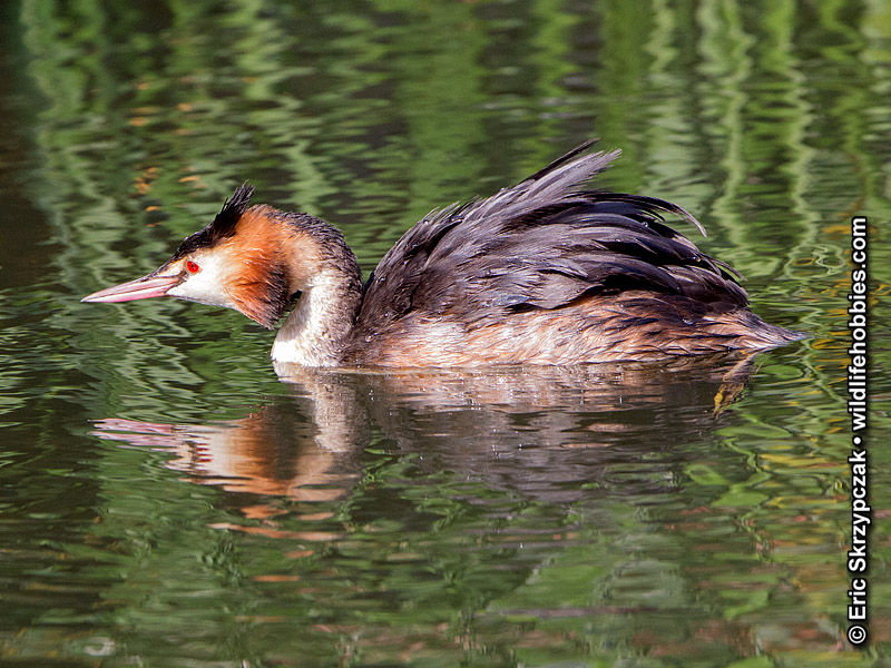 This is a photo of a Grebe - Great-crested