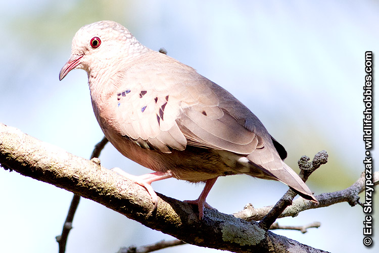 This is a photo of a Dove - Common Ground