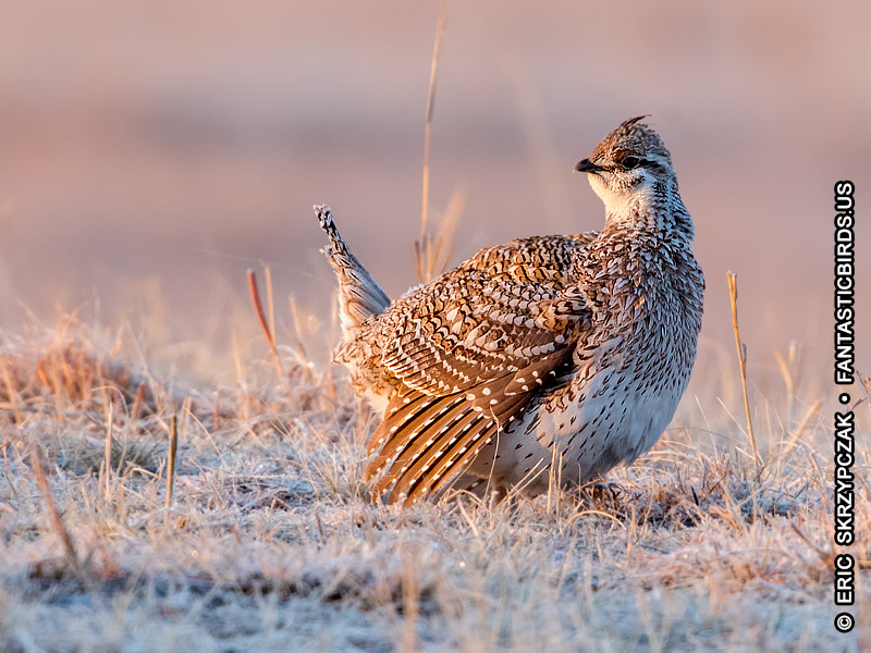 Photograph of the Bird Species: Grouse Sharp-tailed <em>Tympanuchus phasianellus