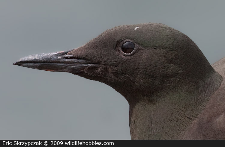 This is a photo of a Guillemot - Black