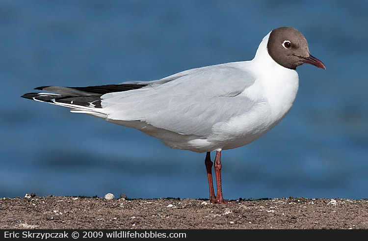 This is a photo of a Gull - Black-headed