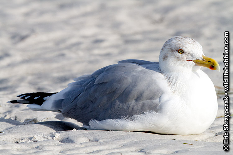 Gull - California']; ?>