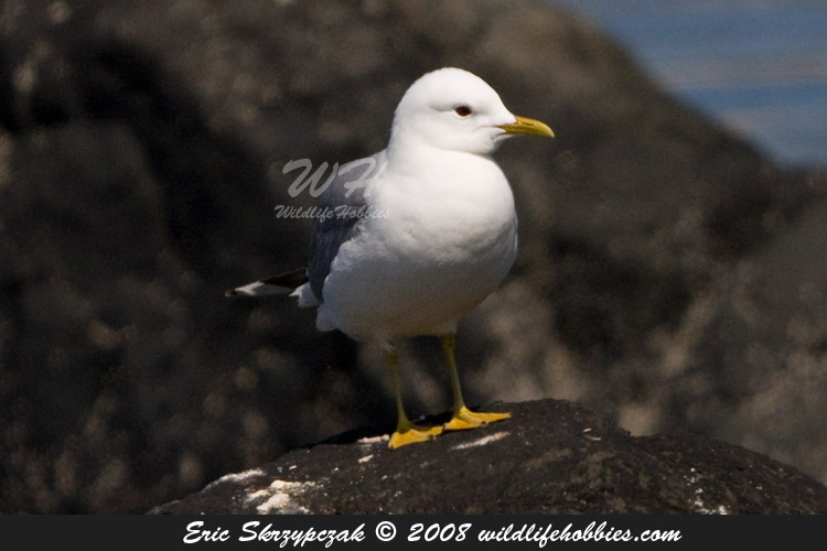 This is a photo of a , Gull - Common