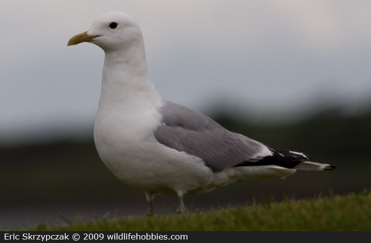 This is a photo of a Gull - Common