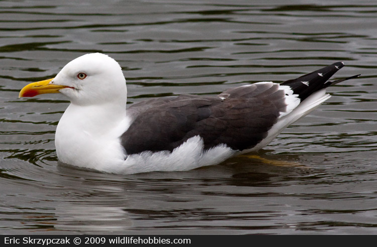 This is a photo of a Gull - Lesser Black-backed