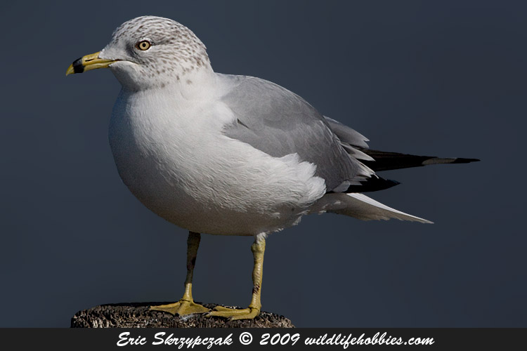Photograph of the Bird Species: Larus delawarensis  <em>