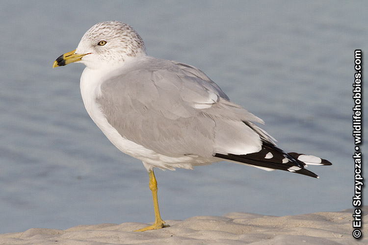 Gull - Ring-billed']; ?>