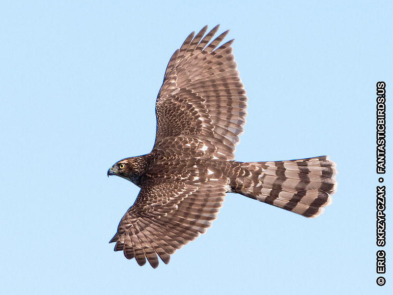 This is a photo of a Hawk - Coopers