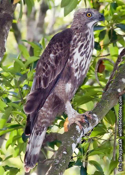 This is a photo of a Hawk-Eagle - Changeable