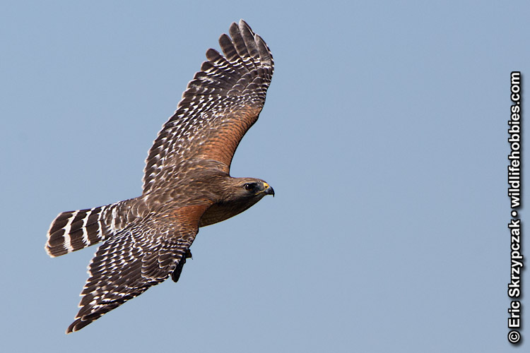 This is a photo of a Hawk - Red-shouldered