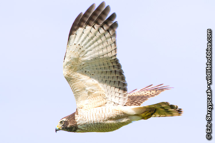 This is a photo of a Hawk - Roadside