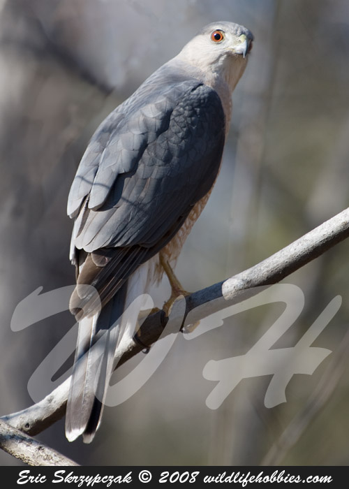 Photograph of the Bird Species: Accipiter striatus <em>