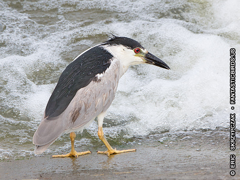 This is a photo of a Night-Heron - Black-Crowned, Nycticorax nycticorax